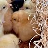 chickenlover1